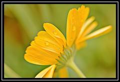"23/100 for ""100 Flowers 2018"" (NikonShutterBug1) Tags: nikond7100 tokina100mm nature wildlife bokeh spe smartphotoeditor closeup macro flower flora 100flowers2018"