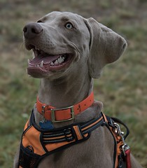 Eager To Please (Scott 97006) Tags: dog canine cute alert harness expression face adorable