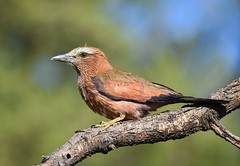 Purple Roller (anacm.silva) Tags: purpleroller roller rolieiro ave bird wild wildlife nature natureza naturaleza africa birds aves áfrica etosha etoshanationalpark namibia namíbia coraciasnaevius okaukuejocamp coth coth5