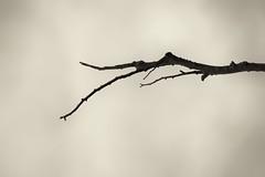 Autumnal (Pascal Volk) Tags: berlin althohenschönhausen berlinlichtenberg baum tree árbol rama branch ast sepia monochrome einfarbig natur nature naturaleza pflanze plant planta herbst fall autumn otoño canoneosr canonef70300mmf456lisusm 300mm manfrotto mt055xpro3 468mgrc2 canondigitalphotoprofessional dxophotolab dxosilverefexpro nikcollection herbstlich autumnal otoñal monochromemonday