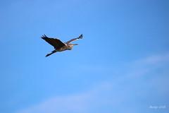 IMG_012424 - Sometimes....... (Monique van Gompel) Tags: bluesky flying nature heron reiger greyheron blauwereiger bird watervogel waterbird vogel ardeacinerea natuurfotografie naturephotography tamronsp150600mmg2 canoneos750d fauna