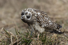 Short-eared Owl / Hibou des marais (shimmer5641) Tags: asioflammeus shortearedowl hiboudesmarais búhocampestre owl strigidaefamily birdsofbritishcolumbia birdsofnorthamerica