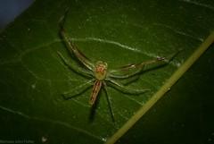 Astilodes mariae (dustaway) Tags: arthropoda arachnida araneae araneomorphae salticidae astilodesmariae jumpingspider australianspiders goonellabah lismore northernrivers nsw australia natur nature australianwildlife