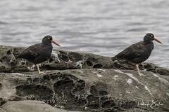 oystercatchers-7146 (pmbell64) Tags: capitalg britishcolumbia canada ca