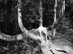 My Precious (Cindy's Here) Tags: myprecious peanut tree curves lakesuperiorprovincialpark ontario canada bw 118 30 100xthe2018edition 100x2018 image73100