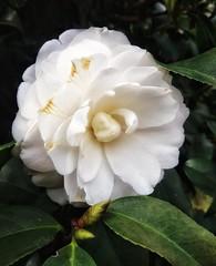camélia (jakza - Jaque Zattera) Tags: branco camélia