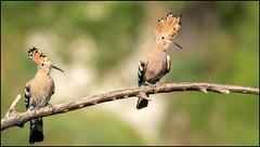 Huppe fasciée / Eurasian Hoopoe (denismichaluszko) Tags: huppe fasciée eurasian hoopoe bokeh birdlife bird colours nature free