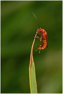 Cardinal Beetle.