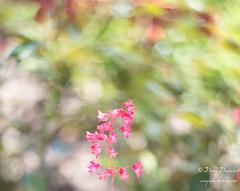 Petite fleur - Little flower (croqlum) Tags: garden bokeh proxiphotographie fleur macrophotographie nature flower jardin macro personnel macrophotography heuchère hélios