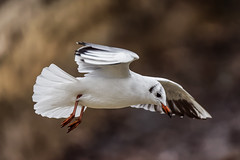 a Seagull flying (Franck Zumella) Tags: bird flight bif oiseau vol mouette gull flying sony a7s a7 tamron 150600 nature wildlife white blanc voler wing wings aile ailes seagull