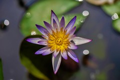 Waterlily (Changer4Ever) Tags: nikon d750 nikkor 1050mmf28 flower plant life nature season bokeh dof depthoffield closeup macro petals waterlily
