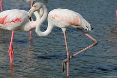 posing (Marano Marco) Tags: marano maranomarco fenicotteri fenicotterirosa france francia camargue saline flamingos nikon d800 nikond800