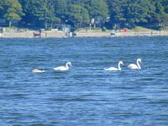 Mute swans on West lake (Quevillon) Tags: park sandbanksprovincialpark ontarioparks westlake athol sandbanksdunesbeach bird lake muteswan swan canada ontario easternontario centreontario princeedwardcounty isleofquinte