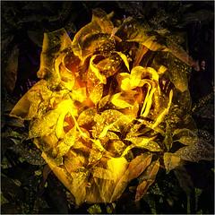 Doppelbelichtung (blasjaz) Tags: blasjaz botanik blüte pflanzen plant teerose japanischegoldorange garryaceae rosaceae