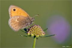 Maniola jurtina. (valpil58) Tags: maniolajurtina butterflies macro