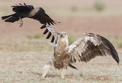 Tawny Eagle aquila rapax (Dhairya M Dixit) Tags: tawnyeagle aquilarapax dhairya dixit birds prey raptor eagle