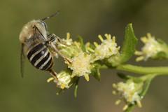 Wild bee on Coyote Bush flowers (Treebeard) Tags: wildbee anthophoraurbana apidae anthophila hymenoptera coyotebush baccharispilularis asteraceae sanmarcospass santabarbaracounty california
