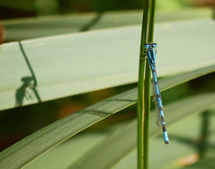Me and my shadow... (Matt C68) Tags: damselfly damsel fly insect commonblue enallagmacyathigerum shadow