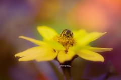 La hora de la merienda.. (josechino2424) Tags: abeja macro insecto madrid josechino2424 flor retiro