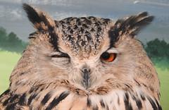 Eastern Siberian Eagle Owl (blue33hibiscus) Tags: bird birdofprey easternsiberianeagleowl totnesrarebreedsfarm devon
