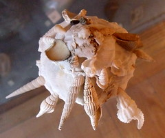 xenophora, bizarre reaper of other seashells (subarcticmike) Tags: subarcticmike travel public display 6ws sixwordstory museum geotagged