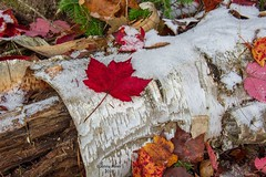 brisk fall day (jenny_miner) Tags: leaves birch log rotting snow fall autumn maple nature red white