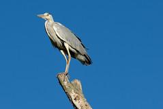 Blauwe reiger - Grey heron (Den Batter) Tags: nikon d7200 zooparc overloon blauwereiger greyheron ardeacinerea