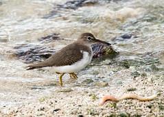 Spotted Sandpiper (Tony CC Gray) Tags: spottedsandpiper birds tonygray canon floridakeys knightskey marathon florida