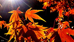 autumn (S.Garten) Tags: golden red orange indiansummer leaves sun nature thebeautyofnature magicmoments autumn cold sunny mystic endofsummer sunbeams windy