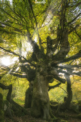 haya hay ahí (danielfi) Tags: bosque forrest haya árbol tree beech naturaleza nature mountain montaña asturias asturies sobrefoz ventaniella ngc