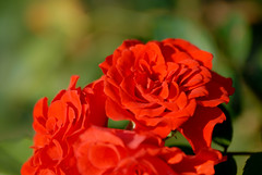 Red Rose (fabiolain) Tags: fiore fiori flower flowers red rosso rosa rose natura nature