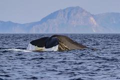 Sperme whale about to dive II (lasse christensen) Tags: dsc5044 norway norge nordland vesteålen andøya spermwhalephysetermacrocephaluscachalotspermhvalenspermhvalhunnmedkalvenspermhvalhunnmedkalvvitenskapeligenavnphysetermacrocephaluslinnaeus 1758physeter physeteridaenorskenavnspermhval