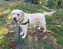 Gracie looking happy (walneylad) Tags: gracie dog canine pet puppy cute lab labrador labradorretriever october fall autumn afternoon klahaniepark