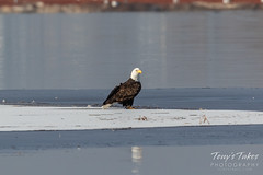 December 3, 2018 - Bald Eagle chilling on the ice at Barr Lake. (Tony's Takes)