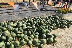 DSC_2580 (earthdog) Tags: 2018 needstags needstitle nikon d5600 nikond5600 18300mmf3563 fall autumn pumpkinpatch spinafarms farm swannecksquash squash food edible