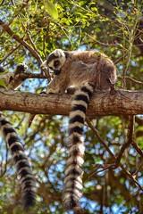 Ring-tailed Lemur (Rod Waddington) Tags: madagascar malagasy ringtailed lemur tree trees forest forrest wild animal nature outdoor