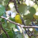 Blue-winged Warbler thumbnail