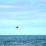 Puffin Flying thumbnail