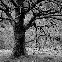 TreeInWinter5 (jhotopf) Tags: blancoynegro noiretblanc monochrome fp4 ilford blackwhite 80mmf28 c330s mamiya richmondpark