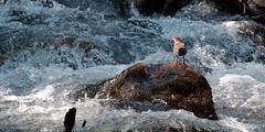Cincle Plongeur (Amanda Hinault - 風流韻事) Tags: ccbysa photobyamandahinault creativecommons pentax pentaxk1ii pentaxart cincleplongeur cincluscinclus oiseau bird pyrénées