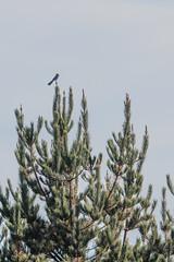 IMG_9621 (armadil) Tags: prairie ranchocorraldetierra bird birds jay scrubjay jays