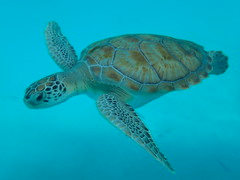 PA160095 (iainjmcd) Tags: bridgetown barbados october 2018 calabazasailingcruises seaturtle