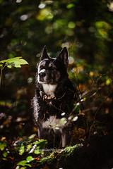 Mara (Roos van Gent Photography) Tags: hondenfotografie hond dog dogphotography happy pet huskymix reflector