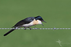 Restless Flycatcher (VS Images) Tags: restlessflycatcher flycatchers monarchidae birds bird birding feathers wildlife wildlifephotography animals avian australianbirds australianwildlife australia nsw nature ngc naturephotography vsimages vassmilevski olympus olympusau olympusinspired getolympus m43