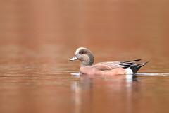 American Wigeon (nikunj.m.patel) Tags: nature waterfowl duck ducks nikon wildfowl americanwigeon beauty naturephotography wild migration fall color