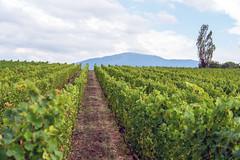 Vineyard (Bephep2010) Tags: 2018 7markiii alpha anières baum geneva genève genf hügel sel24105g schweiz sommer sony switzerland wein weinberg hill summer tree vineyard wine ⍺7iii hermance ch