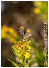 "Common blue butterfly - female / Polyommatus icarus (R ERTUG) Tags: nikond610fx nikon60mmf28 commonbluebutterfly polyommatus carus macro butterfly pelitköy rertug ""nikonflickraward"" ertug"