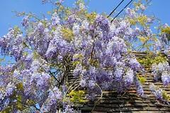 Wisteria (Seventh Heaven Photography **) Tags: garden flowers flora blooms nikon d3200 purple wisteria