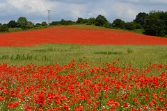 Blackstone Farm Poppy Field (Seventh Heaven Photography **) Tags: blackstone farm poppy field poppies bewdley kidderminster red flowers blooms flora carpet papaver papaveroideae nikon d3200 grass trees sky landscape july 2014