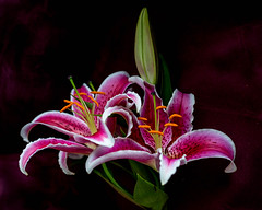 lilies in natural light. (gks18) Tags: canon lilies nature lightroom naturallight